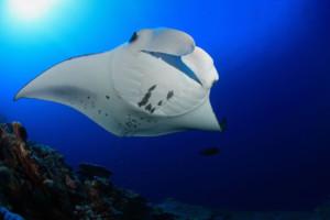 night kona manta ray snorkel